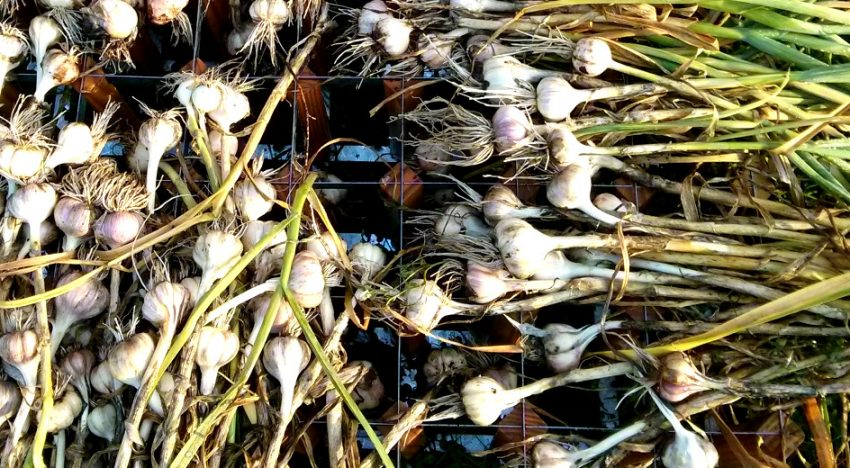 Tips on how to grow garlic successfully