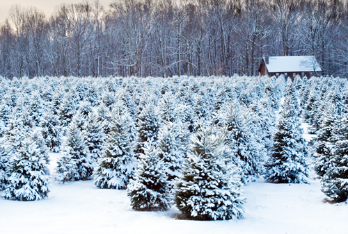7 facts for Christmas trees, real vs artificial